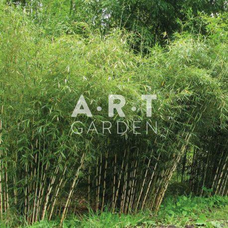 Bambou non traçant Fargesia robusta campbell