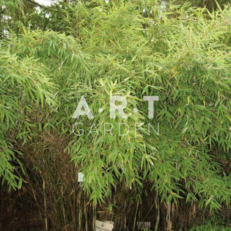 Bambou non traçant Fargesia scabrida Asian Wonder