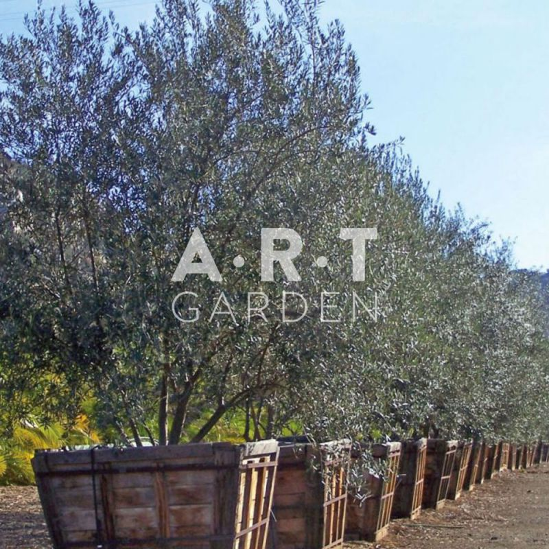 olea europaea olivier r sistant au gel 11 15 en demi tige art garden. Black Bedroom Furniture Sets. Home Design Ideas