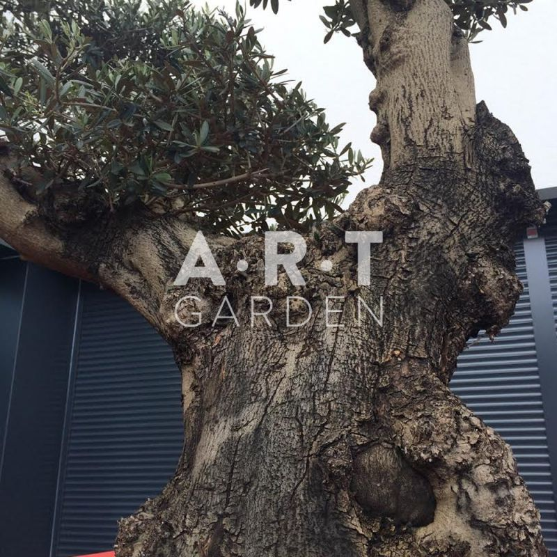 olea europaea olivier arbre taill en bonsa pour terrasse. Black Bedroom Furniture Sets. Home Design Ideas