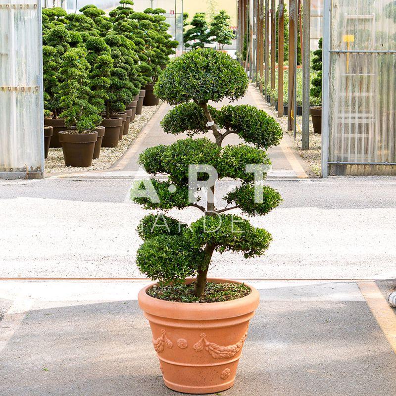 arbres nuages ilex crenata kimme japonais 120 140 cm art garden. Black Bedroom Furniture Sets. Home Design Ideas