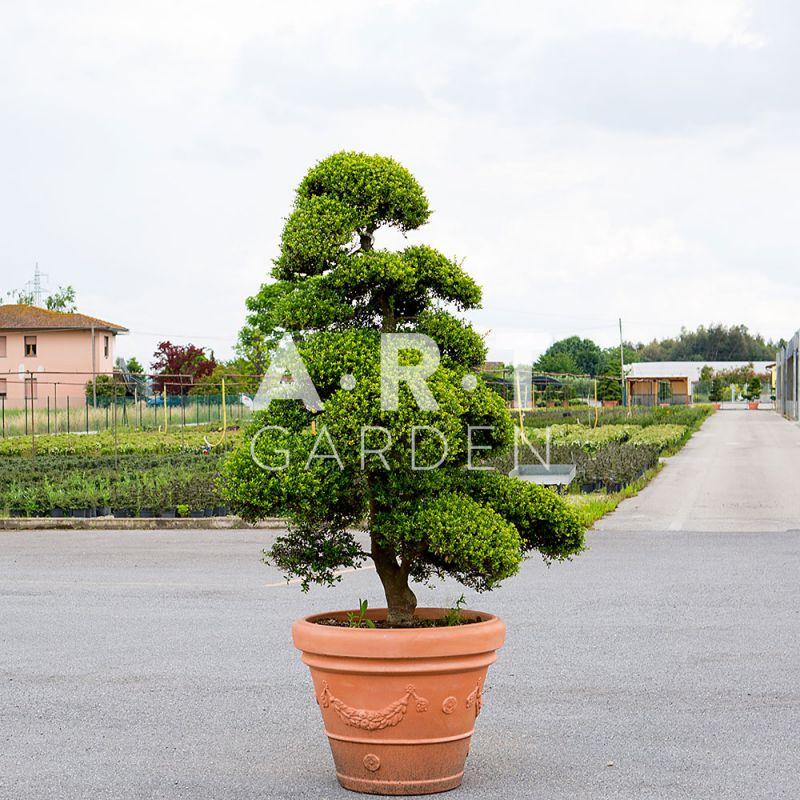 arbres nuages 150 160 ilex crenata kimme banzai art garden. Black Bedroom Furniture Sets. Home Design Ideas