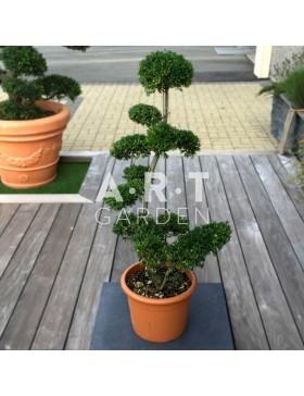 jardinerie en ligne arbres nuages prix grossiste. Black Bedroom Furniture Sets. Home Design Ideas