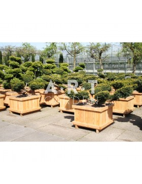 Taxus baccata Summergold taille 100/120 caisse bois 70x70