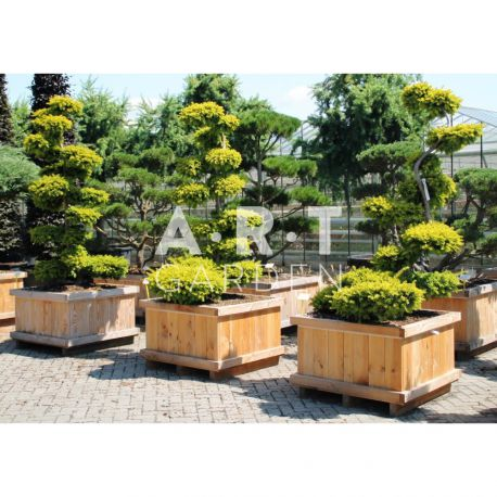 Arbre nuage Taxus baccata Summergold taille 175/200 caisse bois 90x90