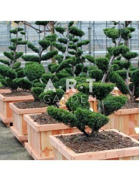 Taxus media Sebian taille 125/150 caisse bois 70x70