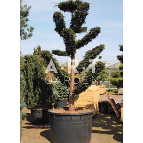 Taxus baccata Dovastoniana taille 250/+ contenair 700L