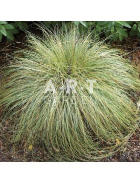 Graminées Carex comans Frosted Curls - Laîche