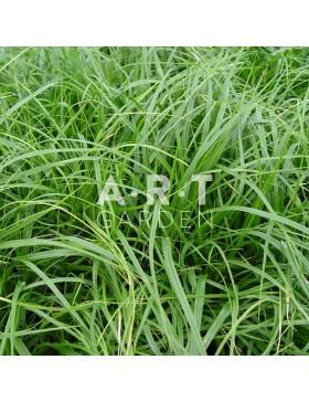 Graminées Carex morrowii