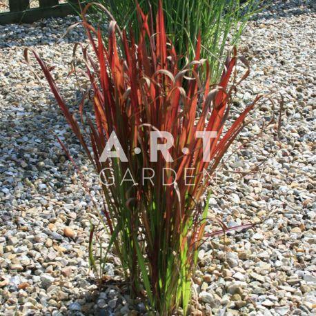 gramin e herbe sanglante imperata cylindrique 39 red baron 39. Black Bedroom Furniture Sets. Home Design Ideas