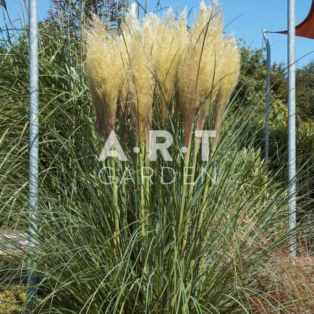 gramin es hautes herbes des pampas herbe de la pampa. Black Bedroom Furniture Sets. Home Design Ideas